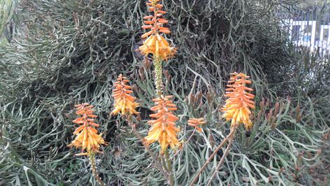 Euphorbia xylophlloides