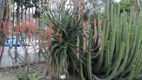 Aloe succotrina and Euphorbia canariensis.