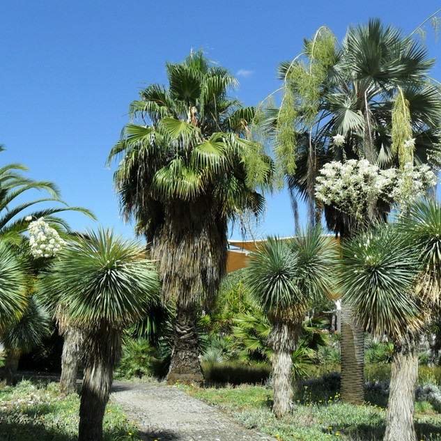 Palms and Yuccas