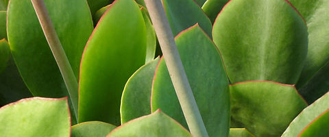 Cotyledon orbiculata 'macrantha' foliage