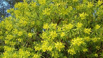 Euphorbia regis-jubae in flower