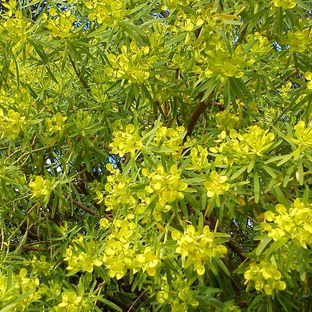 Euphorbia Regis jubae