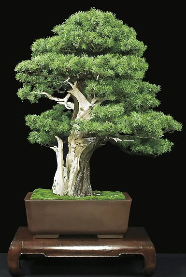 gallery_juniperus rigida_edited