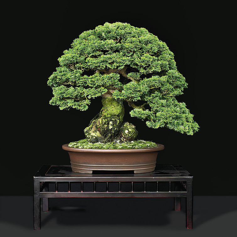 gallery_hinoki cypress