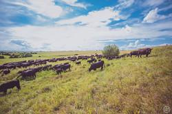 Пастбище, стадо коров
