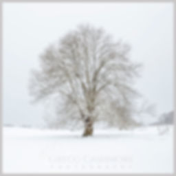 Devon tree covered in a blanket of snow on a winters day.