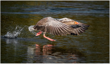 'Graylag Goose' by Brendan Hinds ( 13 marks )