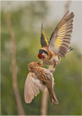 'Fighting Finches' by Pat McKeefry ( 11 marks )