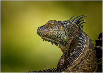 'Green Iguana' by Brendan Hind ( 15 marks )