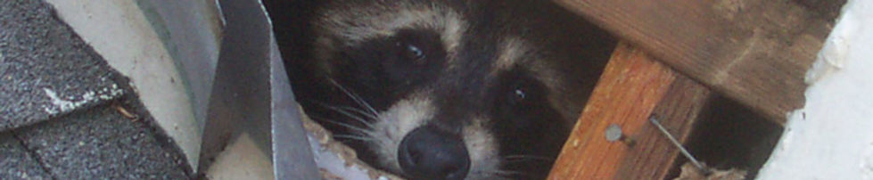 raccoonbite.jpg
