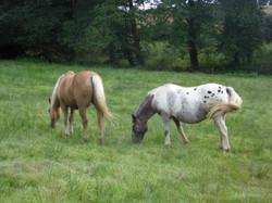 Les poneys au pré