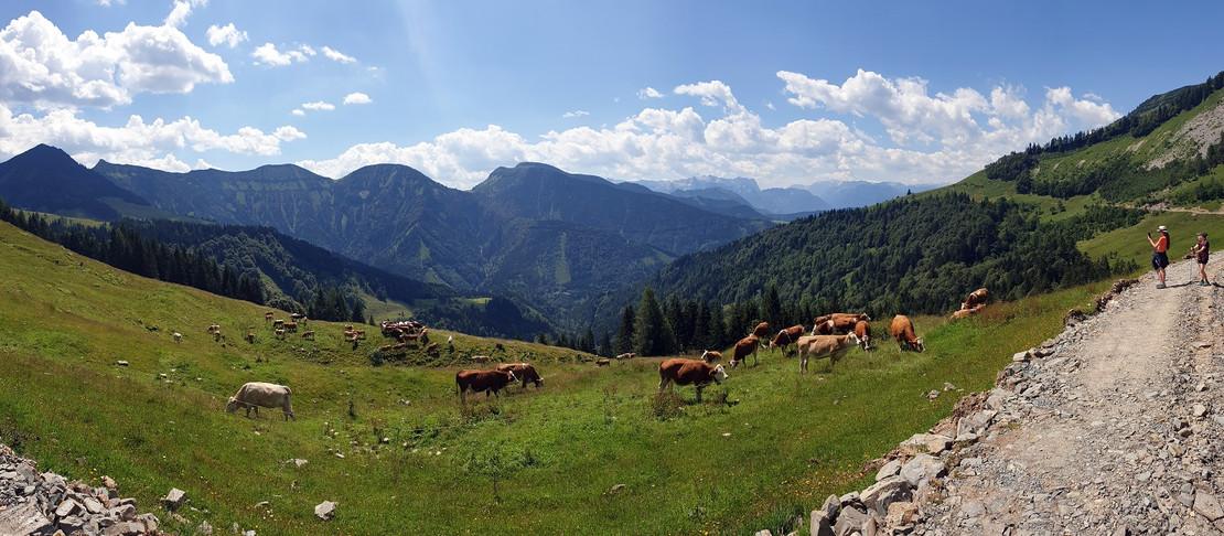 Kühe auf der Alm c Wesenauer.jpg