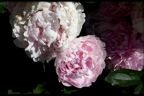 Floral - Peonies #2 - Original Photography. Instant download
