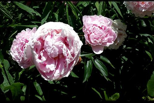 Floral - Peonies #1 - Original Photography. Instant download