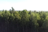 Blue gum plantation resurgence as investors capitalise on 'Rolls Royce' of woodchips