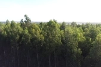 Blue gum plantation resurgence as investors capitalise on 'Rolls Royce' of woodchips