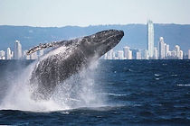 whale_watching_gold_coast_dive_and_cruis