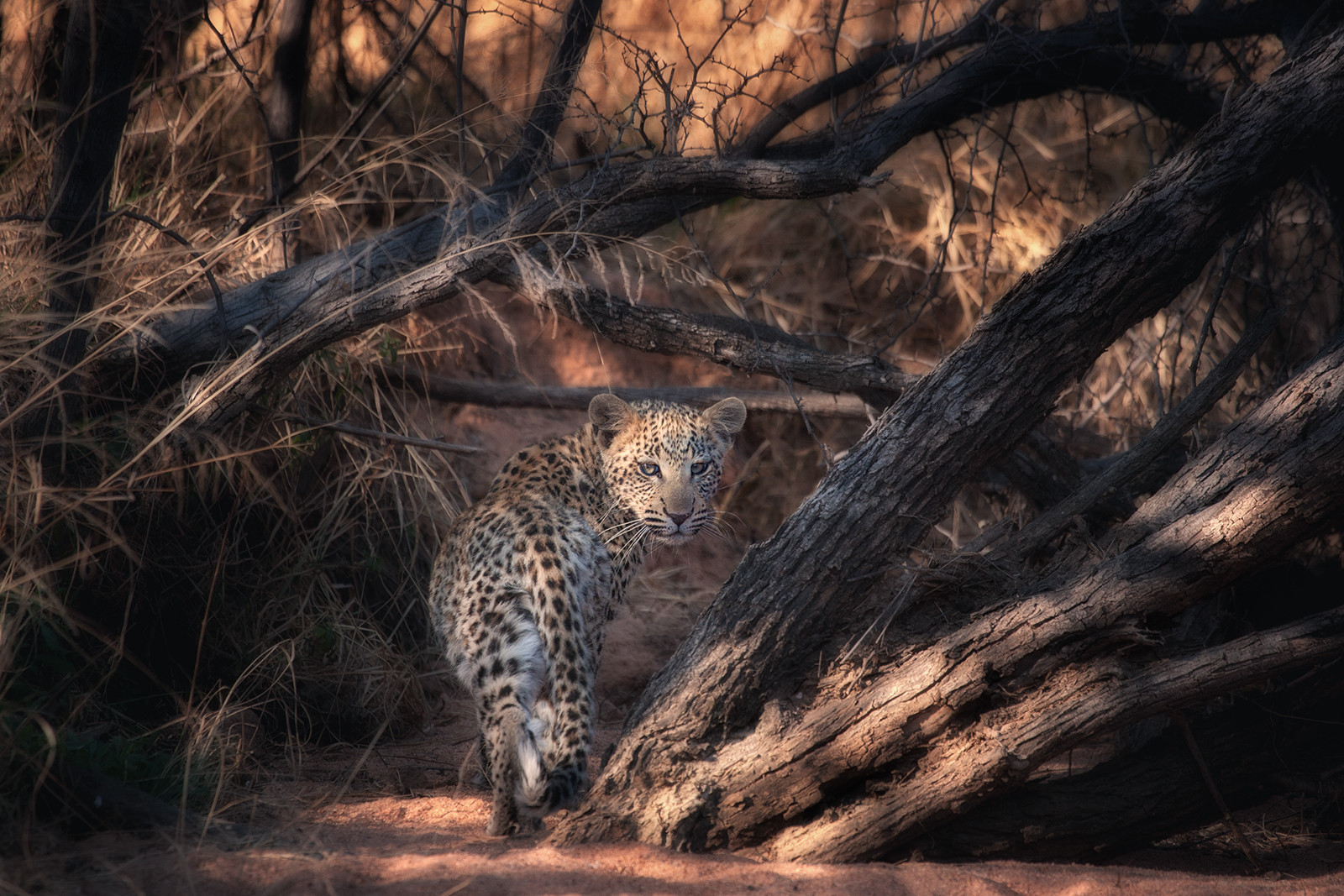 PDI - Leopard Cub by Colin Ross (14 marks)