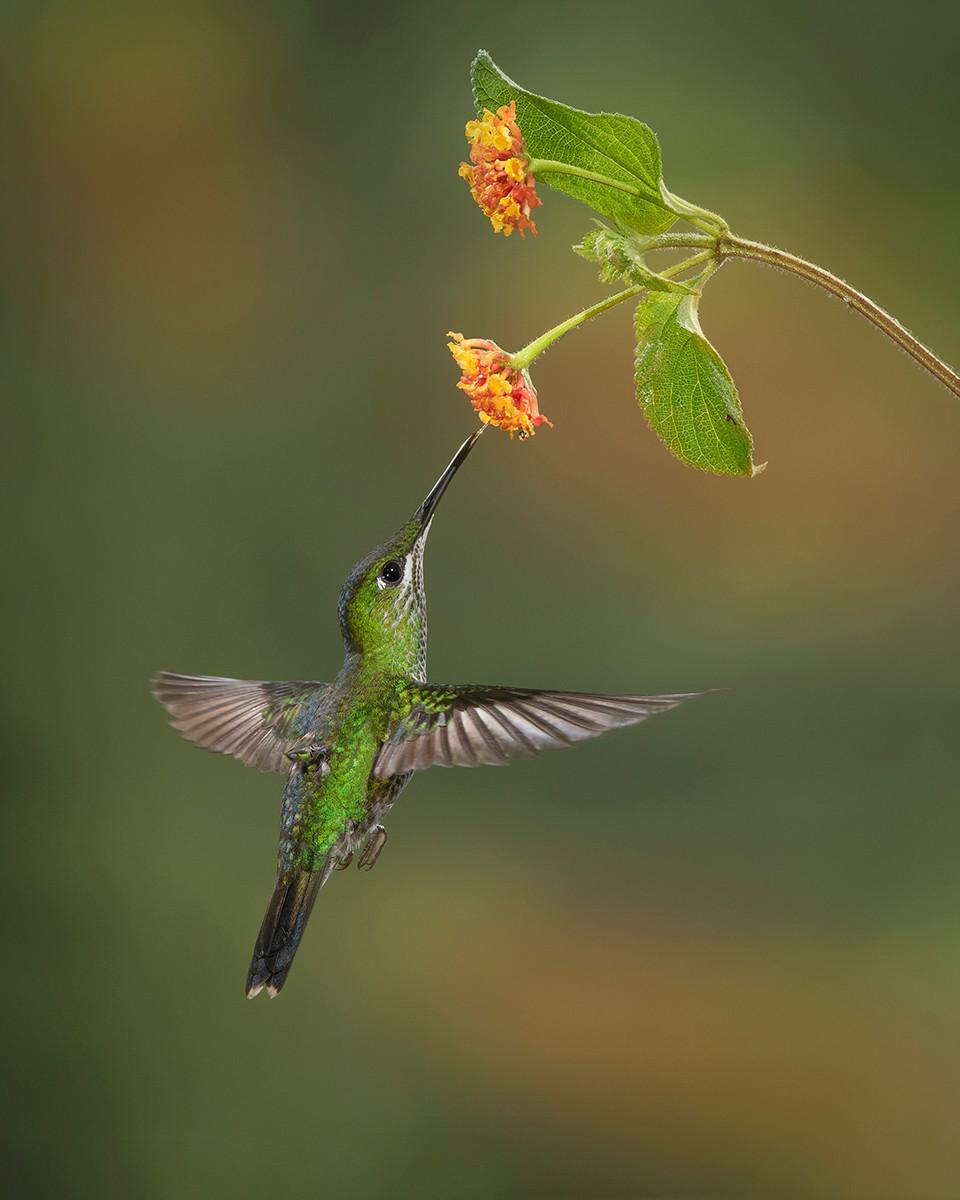 COLOUR - Hummingbird by Pamela Wilson (14 marks) - Starred