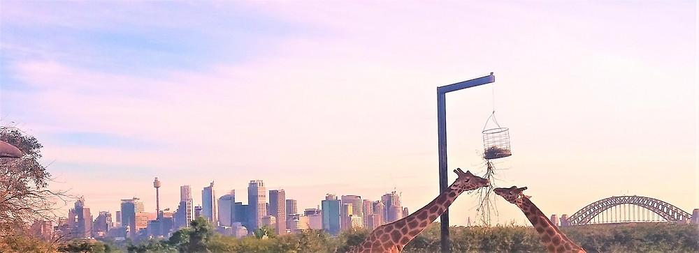 Sydney-Panorama, Giraffen vom Sydeny-Zoo im Vordergrund
