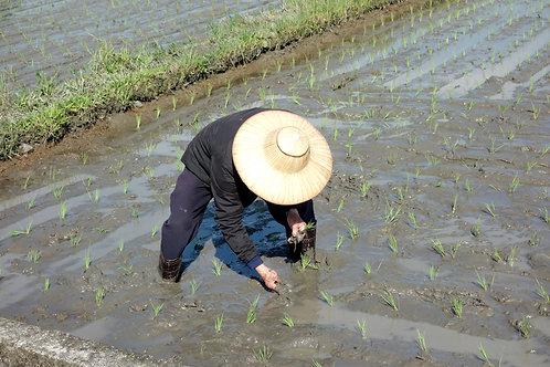 2020年秈稻10號長米長期好朋友