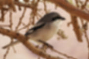 Adam Sela Great gray shrike Machtesh Ramon.__חנ