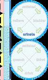 homeostasis-illustr-water-15.png