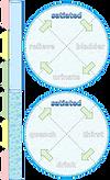homeostasis-illustr-water-01.png