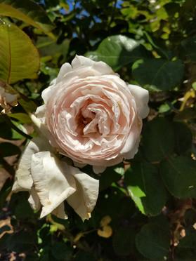 white rose open.jpg