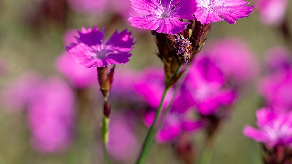 piante di fioriselvatici