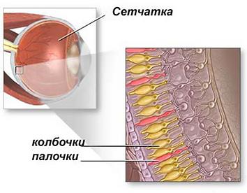 фоторецепторные клетки сетчатки