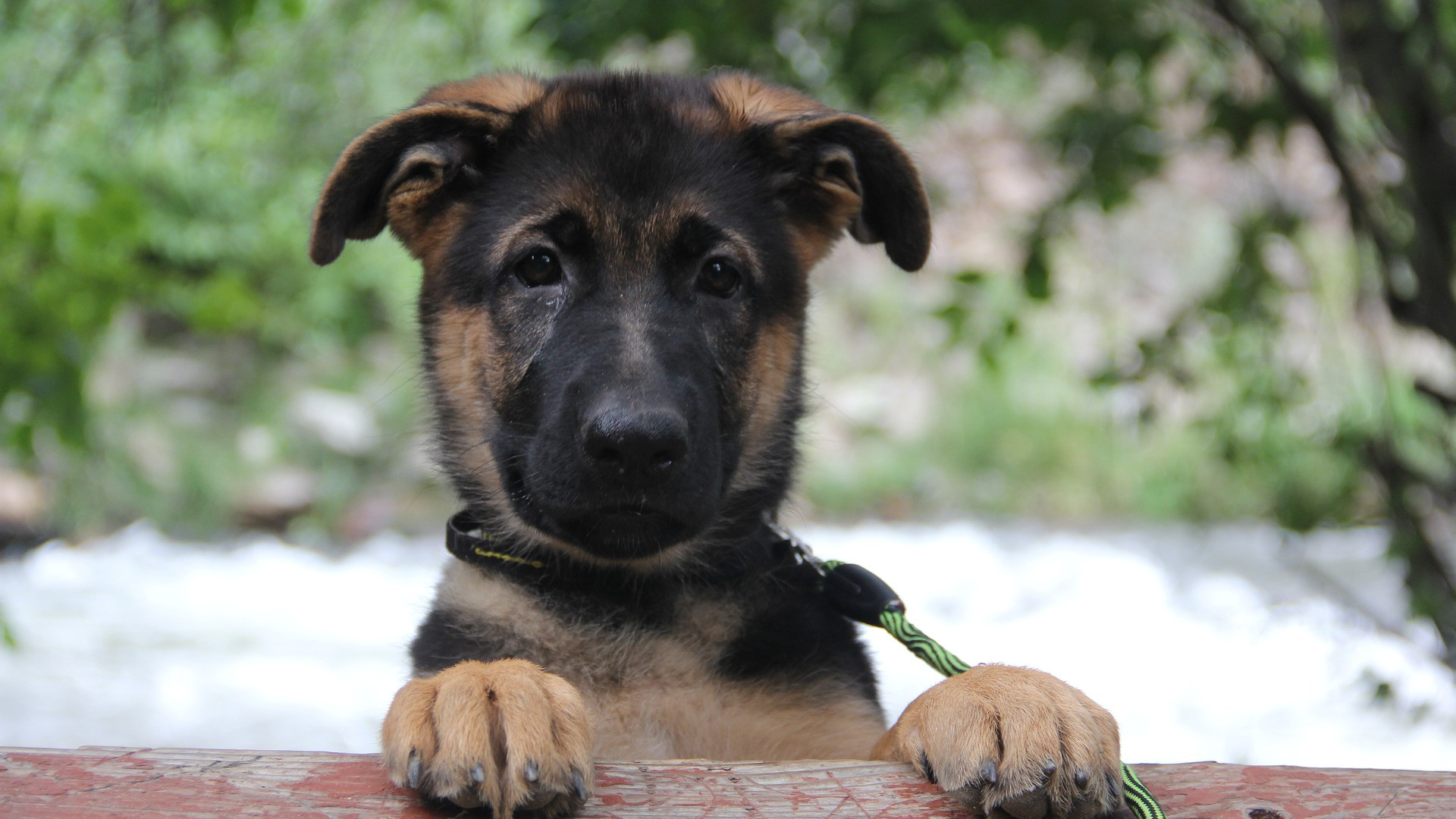 german-shepherd-4614457_1920.jpg