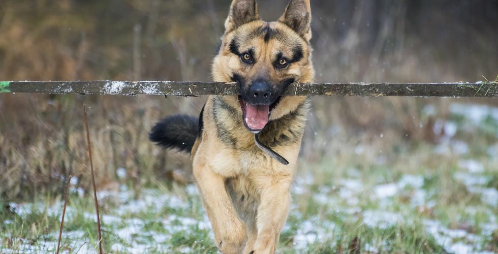 german-shepherd-3101439_1920.jpg
