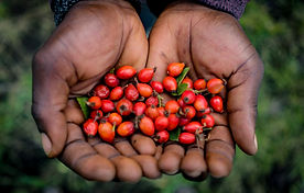 BMO_Leotho_Rosehip_Harvest_April2019_28.