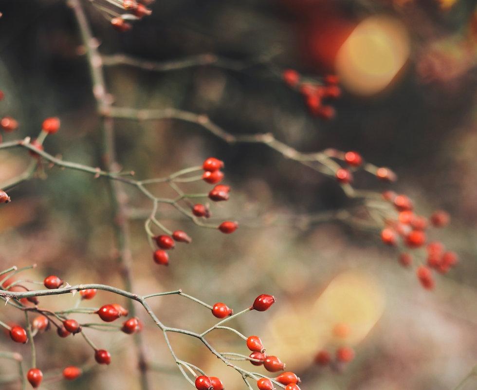 Wild rose berries in fall _edited.jpg