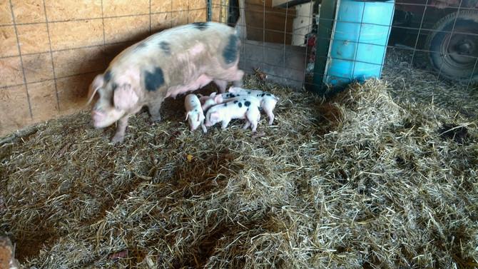 """""""Oink Oink"""" Paynter's Pigs Update!"""