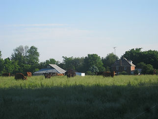 Our Organic farm with organic fed beef for sale