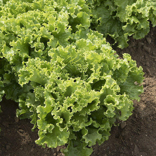 Green Star Pelleted Lettuce   Organic 250 seed per packet