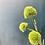 Thumbnail: Dianthus Spray