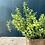 Thumbnail: Rosemary Plant
