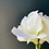 Thumbnail: Amaryllis