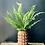 Thumbnail: Ferns