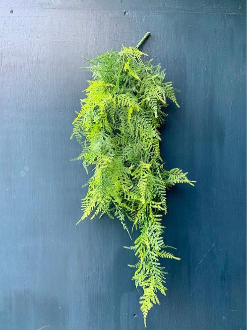 Asparagus Trailing Fern