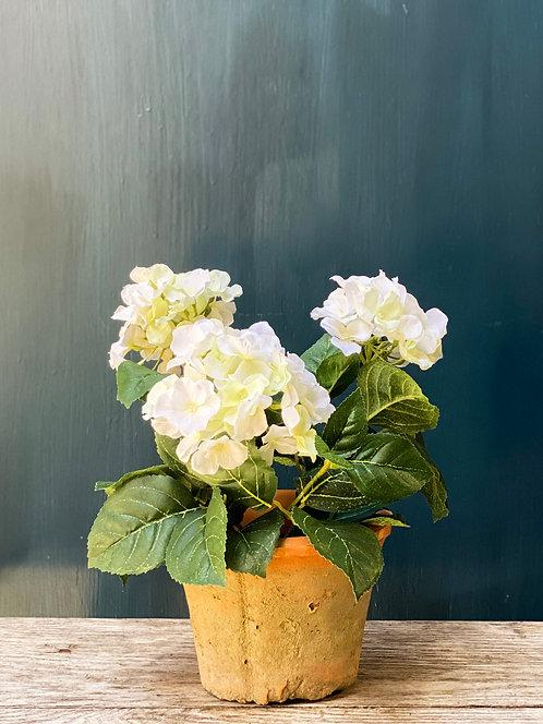 Hydrangea Plant