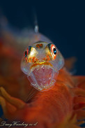 Yawning Goby on wire coral