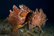 Frogfish couple