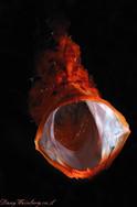 Frogfish big yawn (2 optical snuts)