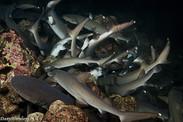 Night hunting white tip sharks