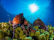 Octopus love under the sun