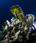 backlit Sea horses